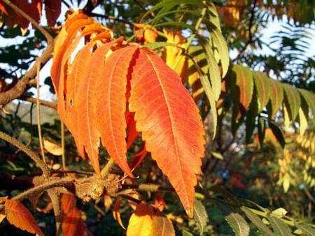 Les feuilles d'automne du sumac de Virginie © Shizhao, GNU 1.2
