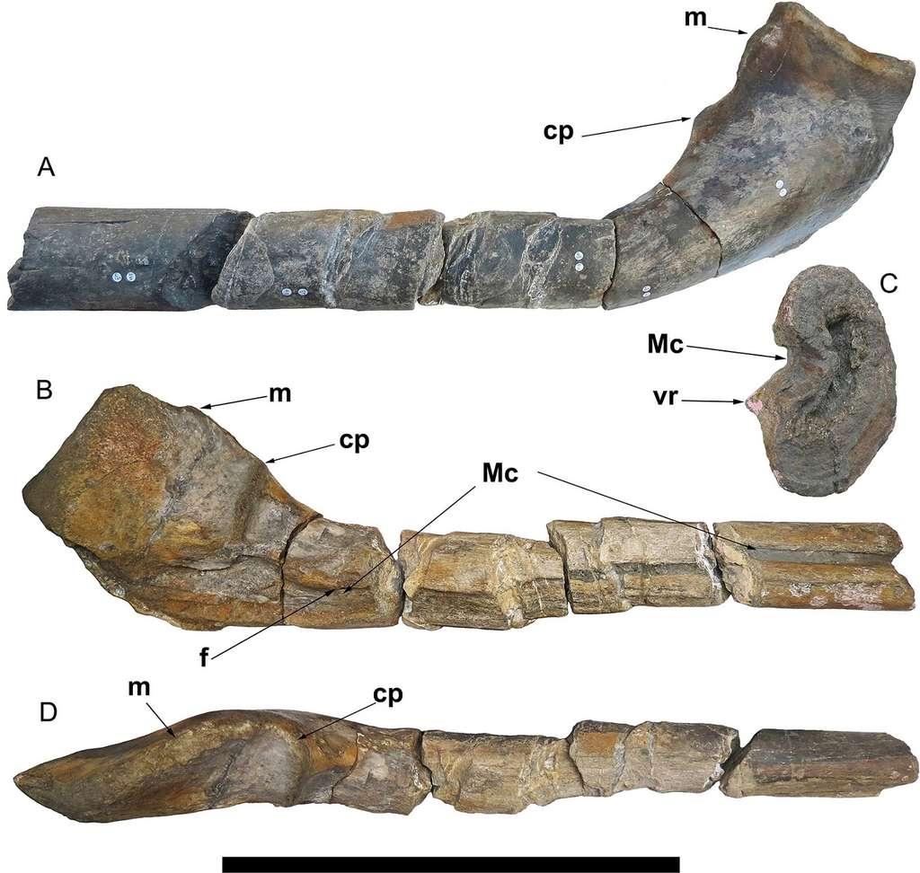 Vues du fossile de mâchoire trouvé à Lilstock. La barre représente 50 cm. © Lomax et al., Plos One 2018.