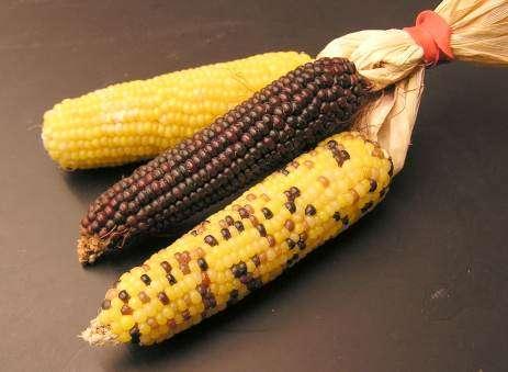 Les tiges, les feuilles et les épis de maïs après la récolte étaient jusqu'à présent considérés comme une ressource idéale pour la production d'éthanol cellulosique, un carburant plus écologique que l'essence conventionnelle. © Threecharlie, Wikimedia Commons, cc by 3.0