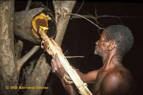 Au Sénégal, la récolte du miel s'effectue la nuit avec une torche. Tout l'essaim est détruit pour récupérer la totalité du miel. Chez les Bassaris, la récolte du miel est assimilée à la chasse. Partir en brousse à la recherche de viande ou de miel semble représenter le même danger. Avant d'aller chercher le miel destiné à l'hydromel de certaines cérémonies comme avant de partir à la chasse, les hommes ne doivent pas avoir de rapport sexuel à partir du jour où est fixée la date du départ en brousse, c'est-à-dire généralement deux ou trois jours. Celui qui a enfreint cet interdit ne participe pas à l'expédition de récolte de miel. Pendant que leurs maris sont partis en brousse chercher de la viande ou du miel, les femmes ne doivent pas avoir de rapport sexuel avec un autre homme, cela serait dangereux pour le mari qui, par exemple, se blesserait (Gessain, 1974). © Reproduction et utilisation interdites