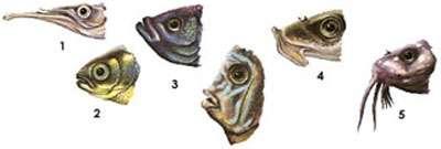 Différences morphologiques des poissons selon le type de nourriture : 1. prédateur ; 2. non-prédateur ; 3. mangeur en surface ; 4. mangeur d'algue ; 5. poisson de fond. © Aquabase, Fitzz, CC by-nc-sa 2.0