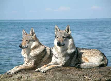 Chien loup tchécoslovaque. © Margo Peron, Wikipedia