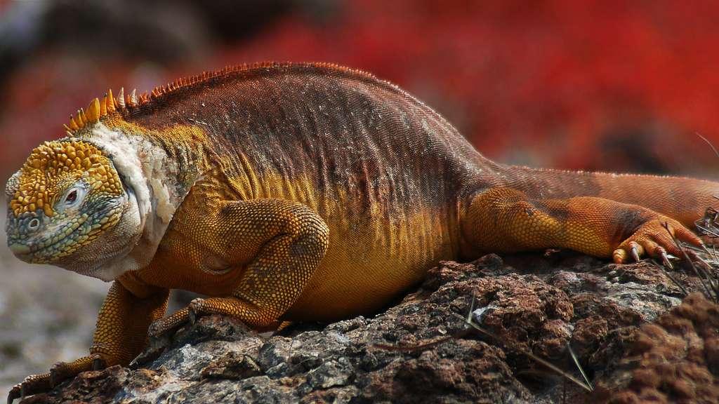 L'iguane terrestre des Galapagos, une espèce vulnérable