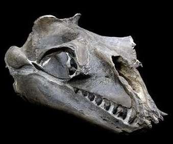 Le crâne étudié par Erich Fitzgerald Ce mammifère marin devait mesurer environ 3,5 mètres de long (Crédits : Erich Fitzgerald/Monash University)