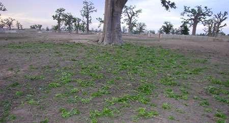 Feuilles de baobab tout juste coupées par les éleveurs afin de nourrir le bétail. © S. Garnaud - Reproduction et utilisation interdites