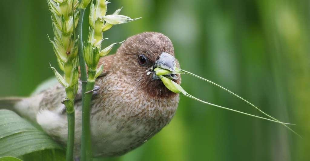 Le millet des oiseaux. © Leechentou, Pixabay, DP