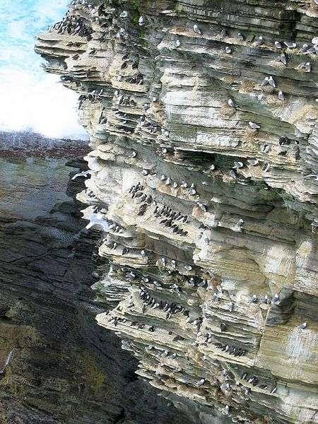 Colonie de fulmars. © Tbc, domaine public