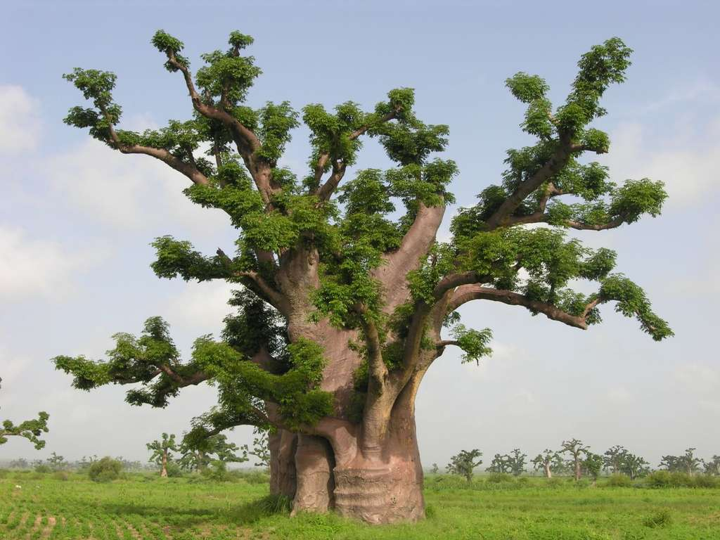 Baobab gigantesque de la région de Nguékokh, au Sénégal