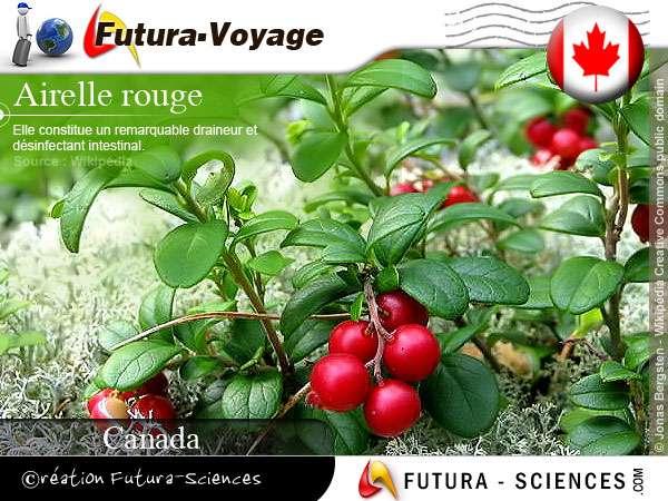 Airelle rouge du canada