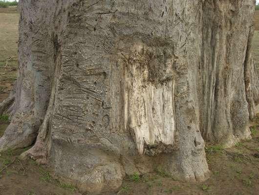 Baobab récemment écorcé pour la confection de cordage © S . Garnaud Reproduction et utilisation interdites
