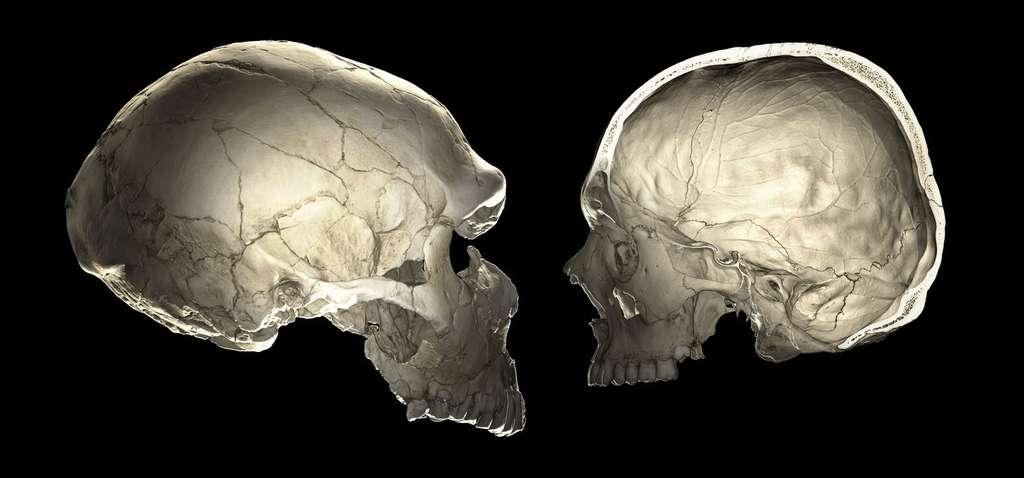 Crânes de Néandertal fossile (à gauche, plus allongé) et d'un homme moderne (à droite, plus arrondi). © Philipp Gunz, CC by-nc-nd 4.0