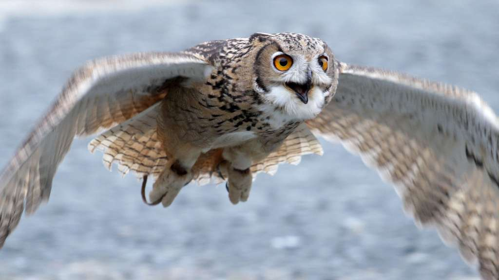 Le hibou grand-duc, le plus grand rapace nocturne