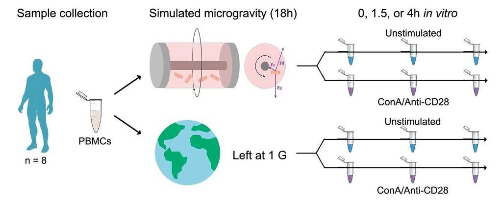 Le protocole utilisé par les scientifiques pour étudier la réponse immunitaire en microgravité. © J. M. Spatz et al., Scientific Reports