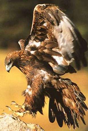 Aquila chrysaetos, ou aigle royal. © Reproduction et utilisation interdites