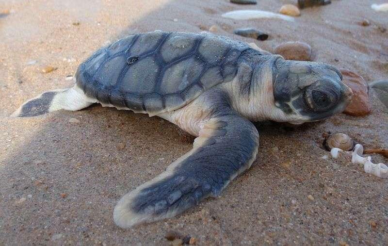 Juvénile de tortue à dos plat (Natator depressus). © Purpleturtle57, Wikipédia, GNU 1.2