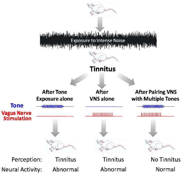 Schéma de l'expérience réalisée. Des rats sont soumis à un bruit intense (exposure to intense noise) pour provoquer des acouphènes (tinnitus). Ces rats sont ensuite soumis à une fréquence (tone, en bleu), à une stimulation du nerf vague (vagus nerve stimulation, en rouge) ou aux deux simultanément. Seule la troisième solution est efficace pour éliminer les acouphènes (no tinnitus) et rétablir une activité neuronale normale. © Nature