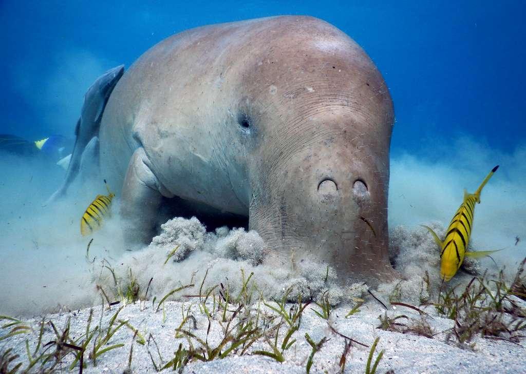 La protection de la population de dugongs à Mayotte s'inscrit dans la nouvelle Stratégie Nationale pour la Biodiversité. © a_g_owen, Adobe Stock