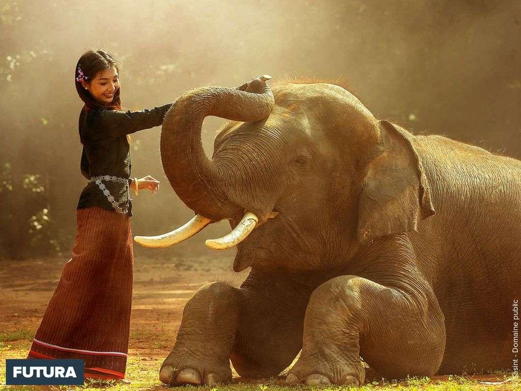 Eléphant d'Asie dont l'espérance de vie est évaluée à 60 ans