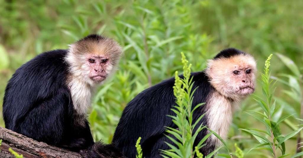 Capucins moines (cebus capucinus) © Zweer de Bruin CC BY-NC 2.0