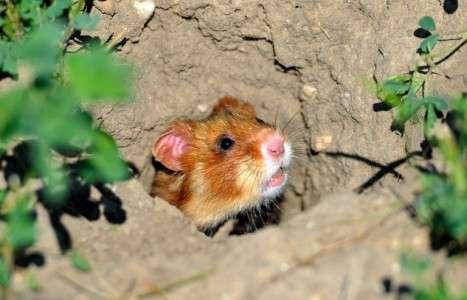 Emblématique de l'Alsace, ce hamster d'Europe, autrefois nommé Marmotte de Strasbourg, est menacé. Ce grand hamster d'Alsace a été photographié le 2 juillet 2014, près de Boesfeld, dans le centre de l'Allemagne. © Uwe Anspach, DPA-AFP
