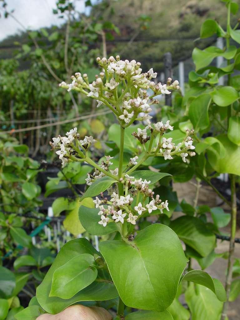 Kadua lichtlei, de la famille des Rubiacées, cultivée au Jardin national de botanique tropical, sur l'île de Kauai et découverte en 2011. © David Lorence, National Tropical Botanical Garden