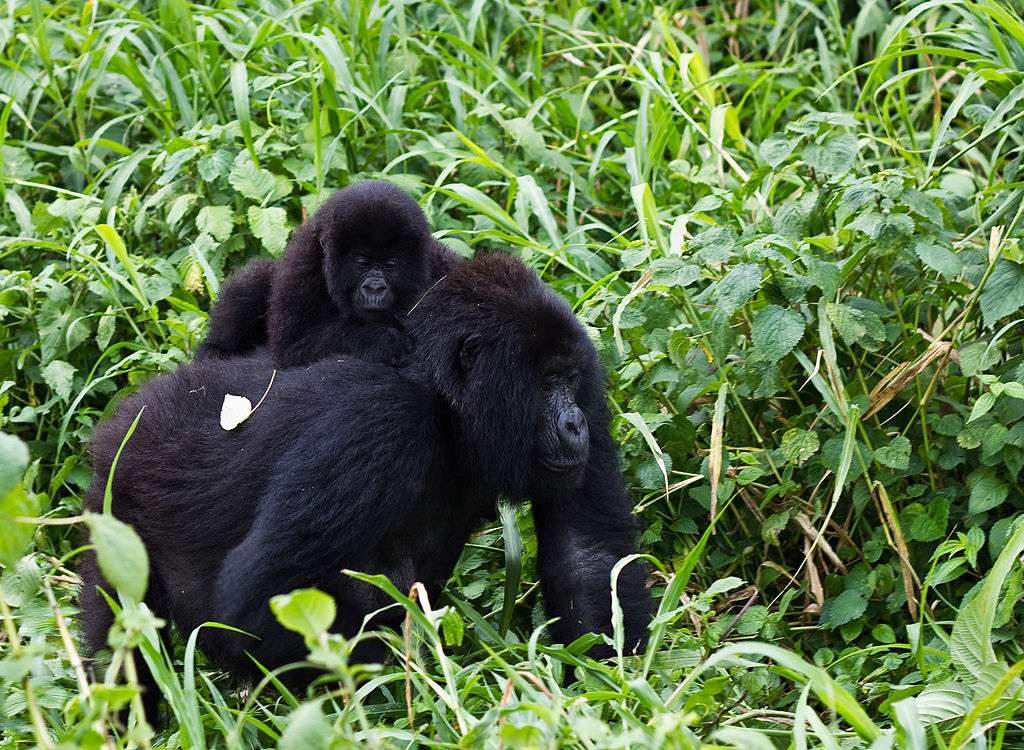 Gorilles des montagnes. © Cai Tjeenk Willink, Wikimedia commons, CC 3.0