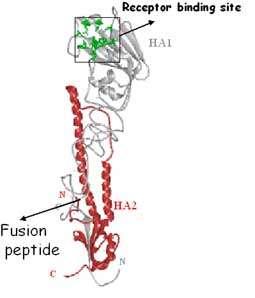 Les deux sous-unités de l'hémagglutinine. © Weis et al., 1990, Biophysical Journal