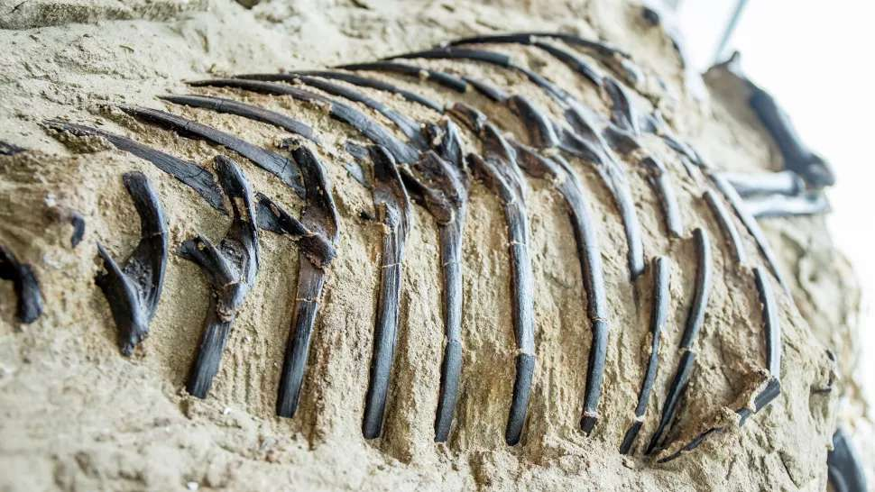 Les spécialistes estiment qu'environ la moitié des fossiles de T-Rex sont aujourd'hui entre des mains privées et restent donc hors de portée de toute étude scientifique. S'il se confirme qu'il s'agit bien d'un T-Rex, le spécimen acheté par le Musée d'histoires naturelles de Caroline du Nord (NCMNS) serait le seul spécimen de musée 100 % complet. Ici, gros plan sur ses côtes. © Matt Zeher, Musée d'histoires naturelles de Caroline du Nord