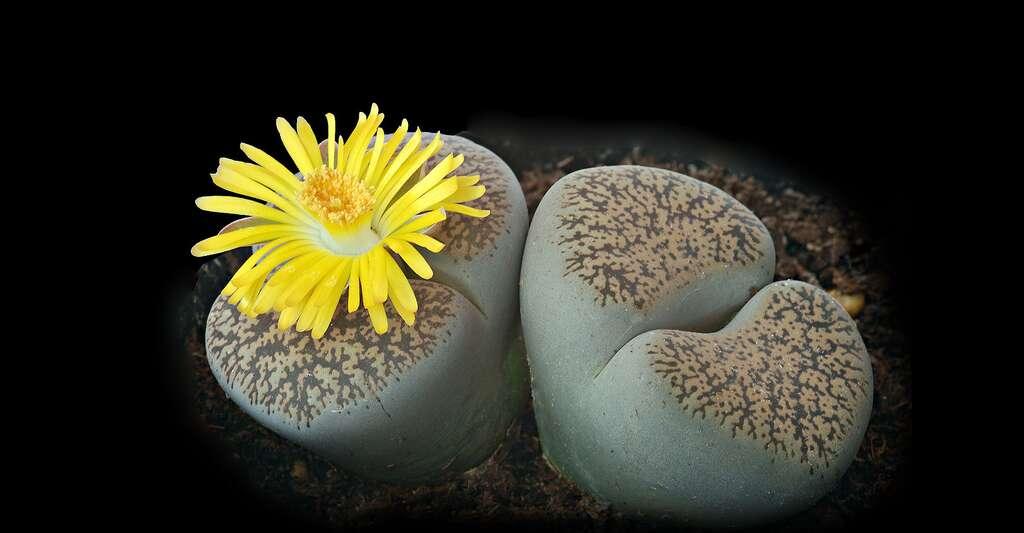 Lithops magnifiques plantes cailloux. © Dmitry, Fotolia