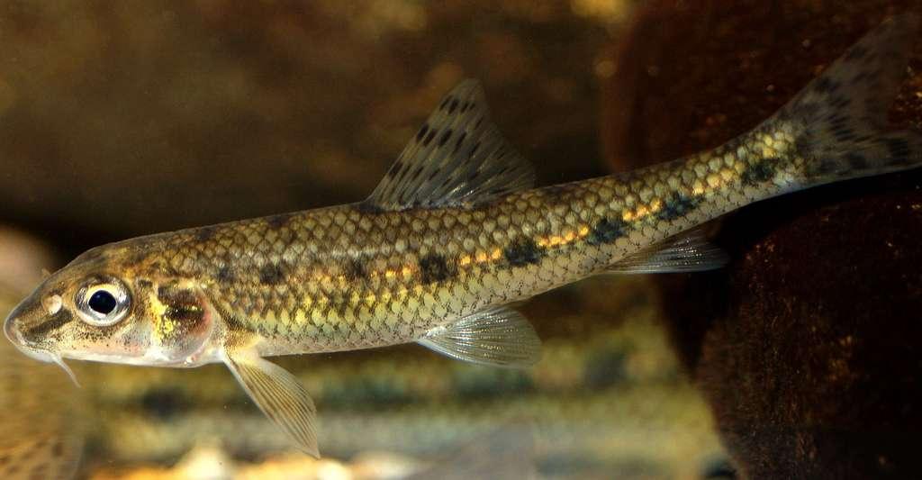 Quels sont les sens des poissons ? Ici, jeune goujon commun. © Gilles San Martin, CC by-sa 2.0
