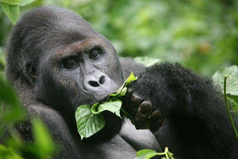 Le gorille des plaines de l'est (Gorilla beringei graueri) ne vit qu'au Congo. C'est le plus grand singe au monde, et sa population aurait décliné de 50 à 80 % depuis les années 1990. © ICCN