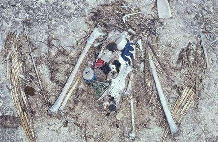 Squelette d'un albatros mort après l'ingestion de divers déchets : bouchon, briquet, fils de nylon… © Forest & Kim Starr/USGS, domaine public