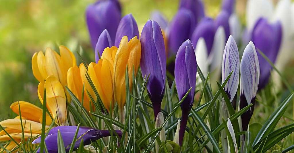 Crocus jaune et violet. © Oldiefan, Pixabay, DP