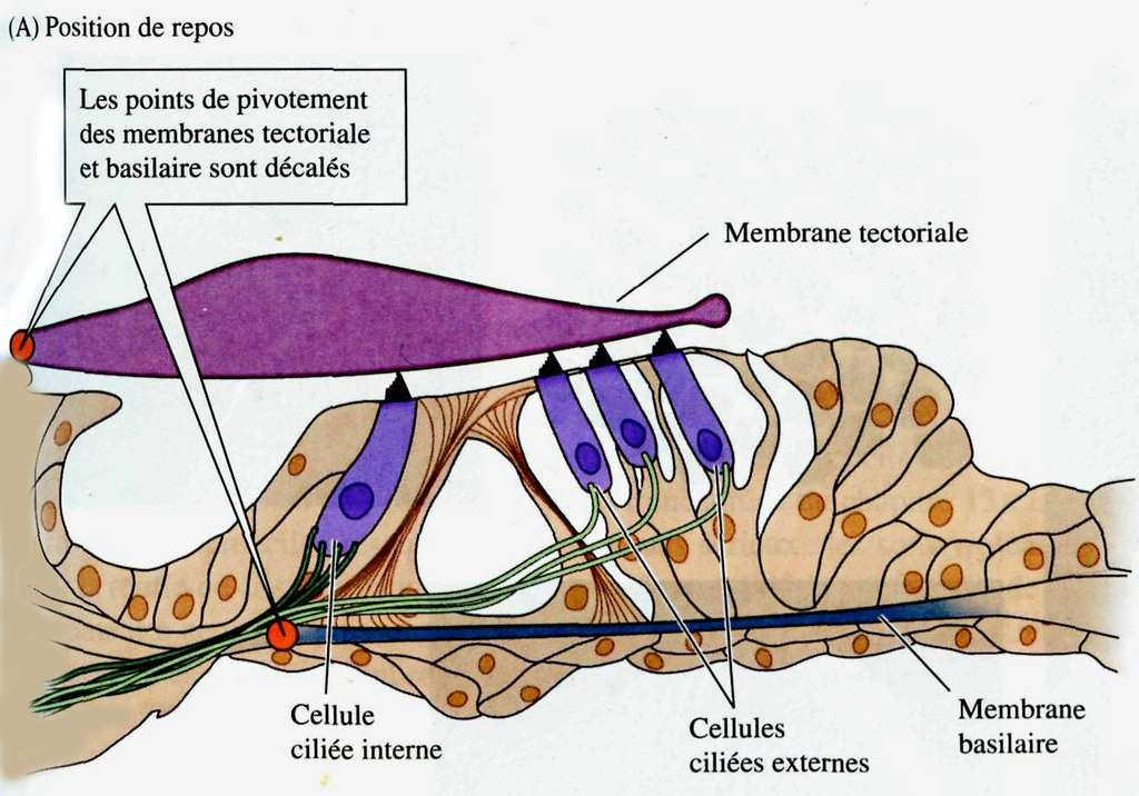 Coupe schématique de l'organe de Corti. © DP
