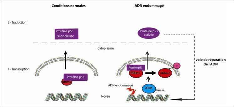 Le mécanisme de régulation de p53 est schématisé clairement ici. Quand l'ADN est endommagé, une condition favorable au développement des tumeurs, la protéine kinase ATM clive le complexe Mdm2 - p53 pour activer cette dernière. Elle va alors réparer l'ADN. © Gajjar et al., Cancer Cell