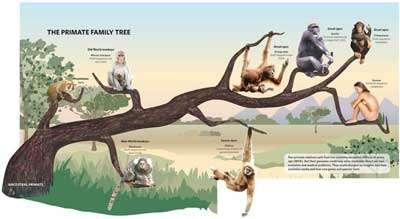 Cliquer sur l'image pour l'agrandir - L'arbre de la famille des primates. Notre dernier ancêtre commun avec le chimpanzé remonte à six ou sept millions d'années.
