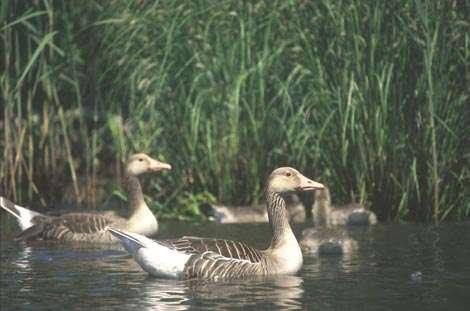 Oies cendrées © WWF-Canon - Hartmut Jungius - Tous droits de reproduction interdit
