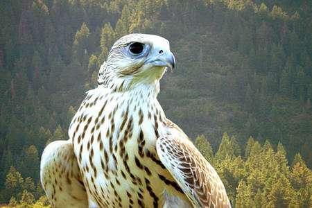 Le gerfaut vit dans les régions les plus septentrionales de l'Europe et en Amérique. © DR