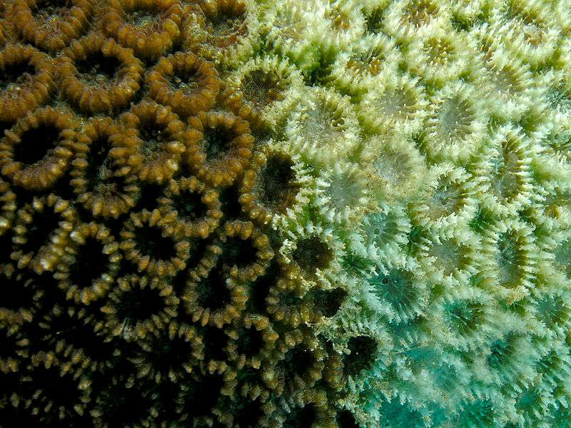 Quand le corail subit un stress comme la hausse des températures de l'eau, il expulse les microalgues symbiotiques qui lui donnent sa couleur. C'est le blanchiment, qui prive aussi l'animal d'une partie essentielle de sa nourriture et conduit en peu de temps la colonie à la mort. © Nick Hobgood, CC-by-sa