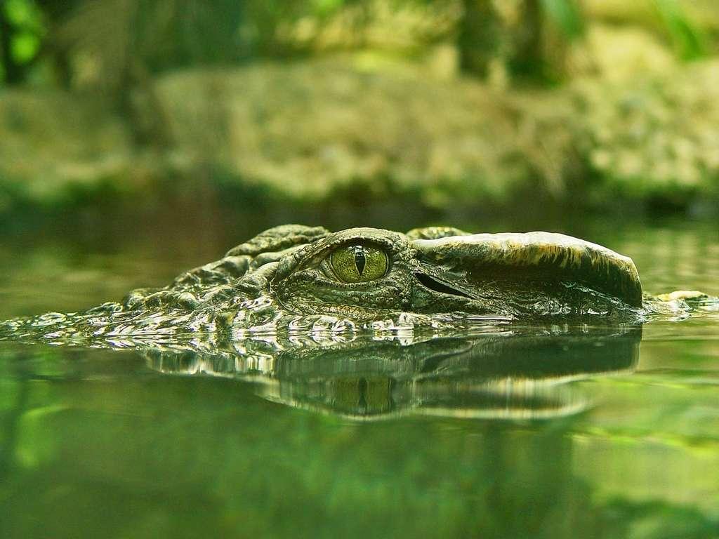 Les premiers crocodiliens sont apparus au Jurassique. © Tombako the Jaguar, Flickr CC by-nd 3.0