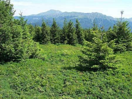 Il s'agit ici d'une forêt semi-naturelle d'épicéas, dont les arbres se sèment tout seuls (régénération naturelle) et sont récoltés lorsqu'ils ont atteint un âge d'environ 200 ans. La dynamique du sol forestier influe sur la faune du sol. © Innocenti-rob - Licence de documentation libre GNU, version 1.2