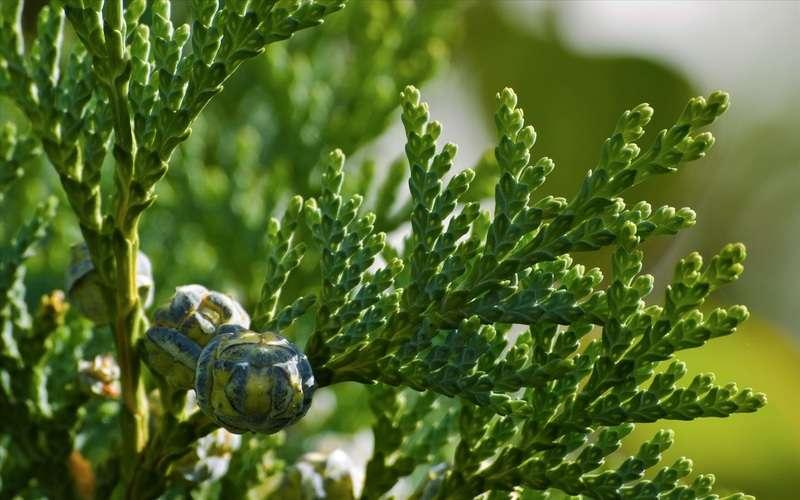 Chamaecyperis lawsoniana. © axelkr, Flickr CC by 2.0