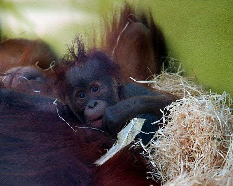 Bébé orang outan. © Oliver Spalt, GNU FDL Version 1.2