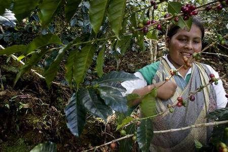 Rosa Mamani récolte les cerises de café. Autrefois, Rosa travaillait à La Paz, en Bolivie, où elle était victime de discriminations. Voyant que le café était payé un prix juste et stable, elle a choisi d'acheter de la terre près de celle de son père, dans la région des Yungas. © Max Haavelar - Photo Bruno Fert - Tous droits réservés