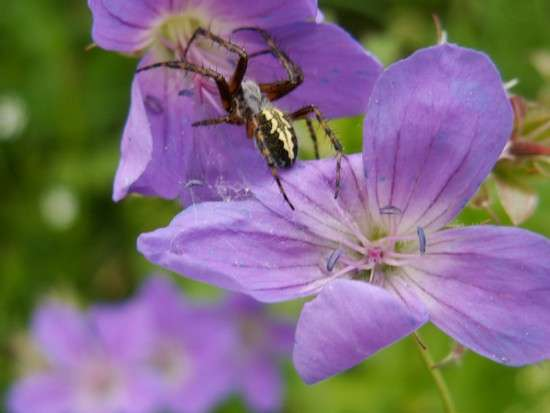 Aculepeira ceropegia – Epeire des bois
