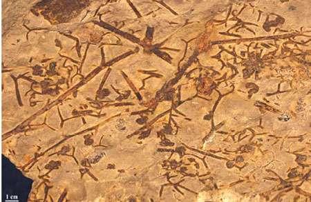 Fig. 17 : AneurophytonAxes très ramifiés et hampes fertiles.