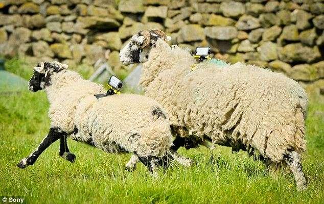 Lors du Tour de France cycliste 2014 qui s'est élancé depuis le Royaume-Uni, cinq moutons ont été équipés de mini caméscopes pour filmer le passage du peloton. © Sony
