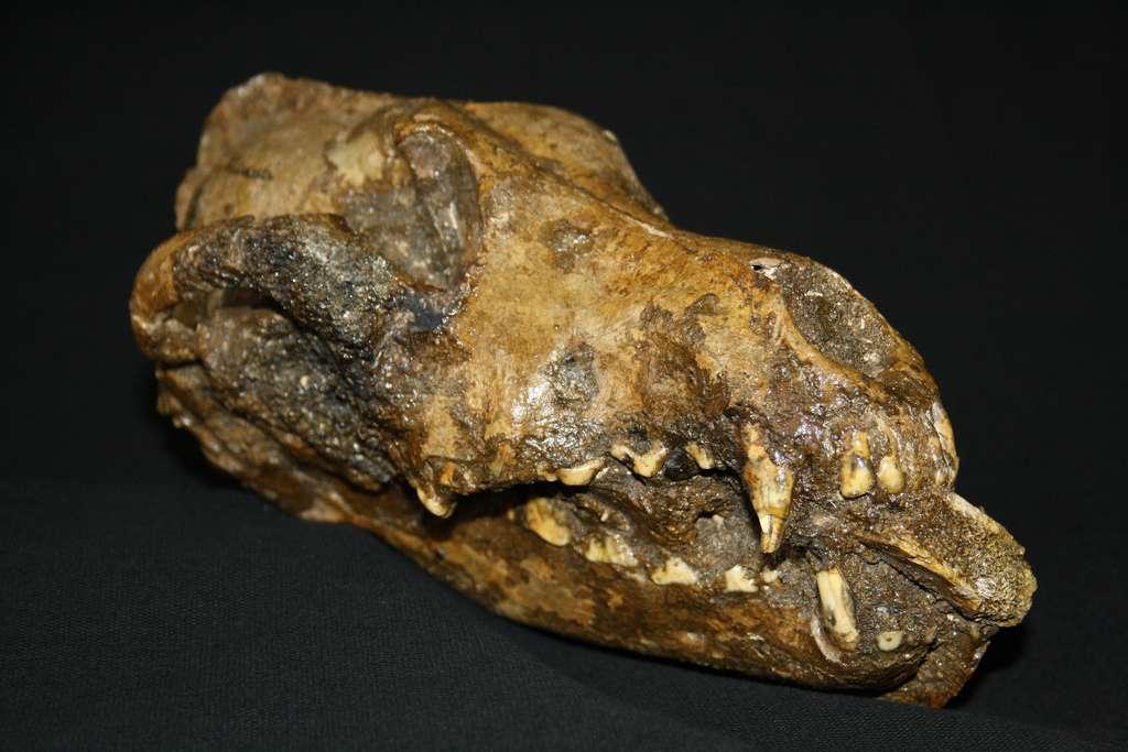 Ce canidé mort il y a 27.000 ans n'est peut-être pas l'ancêtre des chiens actuels. Néanmoins, l'os de mammouth qu'on lui a placé dans la gueule après sa mort constitue l'un des indices permettant de supposer que l'animal était apprivoisé. © Anthropos Museum, Brno, République tchèque, avec l'amabilité de Mietje Germonpre