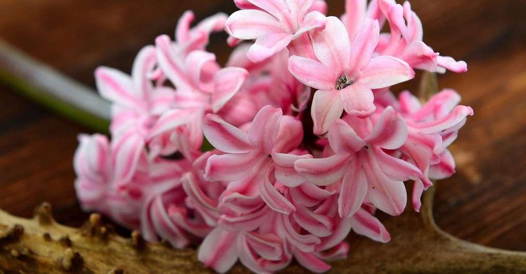 Jacinthe rose au doux parfum. © Pezibear, Pixabay, Domaine Public