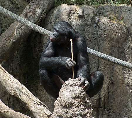 Un chimpanzé occupé à cueillir des termites avec une baguette. Entre lui et nous, il y a des gènes en plus mais aussi des gènes en moins... © Mike Richey – GNU Free Documentation License, Version 1.2